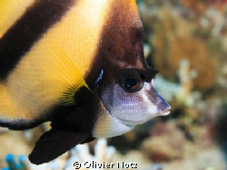 Red Sea Bannerfish by Olivier Notz 